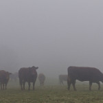 Cattle fog